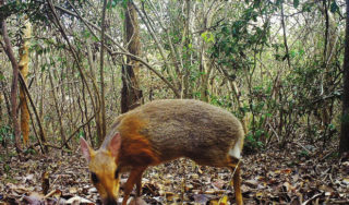 Fanged mouse-deer photographed for first time in almost 30 years
