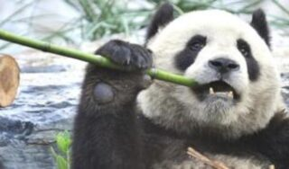 Conservation dilemma over saving the giant panda
