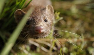 Lithuanian authorities find first coronavirus cases at a mink farm