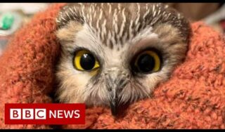 Rockefeller Christmas tree owl released into the wild – BBC News