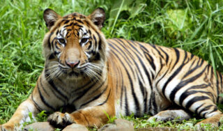 Endangered Sumatran tigers recovering from COVID in Jakarta zoo