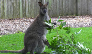 This Chicago-area zoo is helping raise a baby: Whitney the wallaby