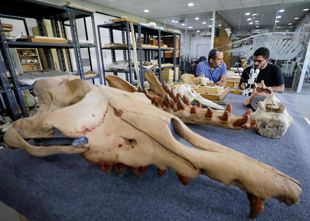 """Researchers at El Mansoura university work on renovating the 43 million-year-old fossil of a previously unknown amphibious whale called """"Phiomicetus Anubis"""", in Egypt"""