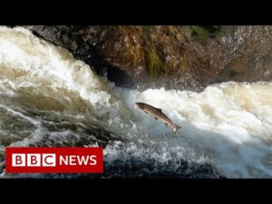 Saving a million salmon and a tribe in a historic drought – BBC News